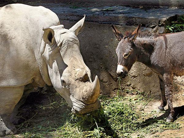 rhino-donkey