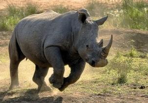 rhino-mccain