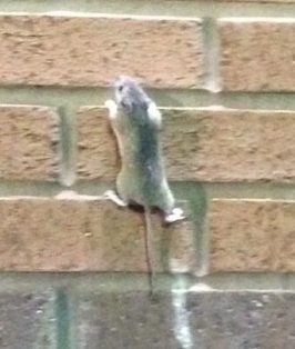 mouse-climbing-brick-wall